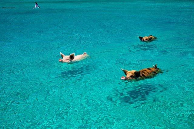 Багамы и поросята