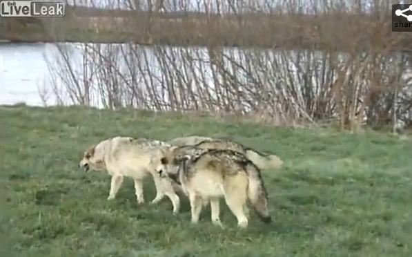Фотограф и волки
