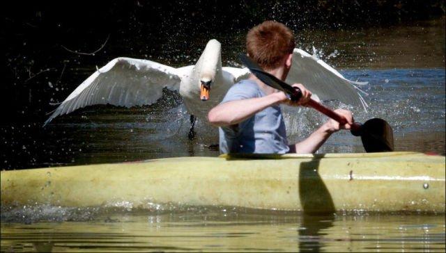 Лебедь по кличке Тайсон