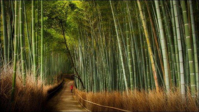 Сагано - бамбуковый лес